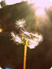 Isn't Something Missing? (Kaylnjoy) Tags: sun white flower nature grass petals stem glare shine wind dandelion flare rays frontyard