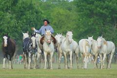 Criollos blancos (Eduardo Amorim) Tags: horses horse southamerica argentina criollo caballo cheval caballos cavalos pferde herd cavalli cavallo cavalo gauchos pferd pampa hest hevonen chevaux gaucho  amricadosul hst gacho  campero amriquedusud provinciadebuenosaires  gachos  sudamrica sanantoniodeareco suramrica amricadelsur  areco sdamerika gregge crioulo troupeau caballoscriollos herde criollos  tropillas  pampaargentina camperos americadelsud tropilhas tropilla  crioulos cavalocrioulo americameridionale tropilha caballocriollo campeiros campeiro eduardoamorim cavaloscrioulos iayayam yamaiay pampaargentino