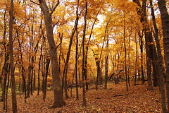 Autumn Gold (Nature's Great) Tags: autumn trees color fall nature leaves gold woods meditate infinity think plan peaceful calm future stare serene meditation maples tranquil infinite timeless
