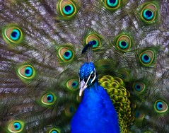 ...Let me see you shake your tail feather! (Helen Beresford) Tags: blue green bird proud bright vibrant feathers vivid peacock colourful showoff specanimal 100pictures 35filltheframe