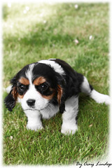 cavalier king charles puppy (craiggy13x) Tags: lighting new old uk light england dog art dogs speed photoshop canon puppy lens manchester fun photography photo 3d cool king arty slow shot image cs2 photos pics good framed edited flash tripod ace fast charles pic x craggy filter photograph frame craig shutter cavalier editing framing dslr filters 13 lam edit speeds lenses slur cs3 cs4 2011 cs1 cs5 40d lindop canon40d craiglindop craiggy13x