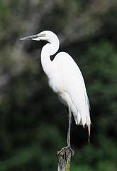 Great Egret, Saiwa Swamp NP, Kenya