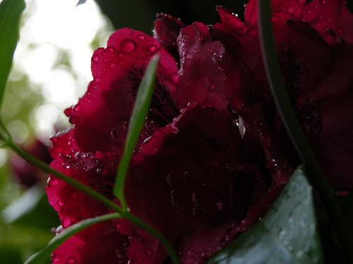 Rhodedendron in rain