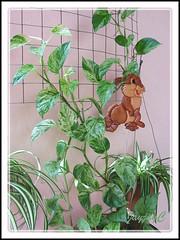 Epipremnum aureum 'Marble Queen' as a vine in our garden