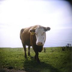 #314 (Karen.Strolia) Tags: film mediumformat coast cow holga lol portravc400 rightafterishotthis hewinkedandlickedhisnostril iwasoneshutterclickawayfromadoozy