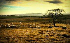(andrewlee1967) Tags: uk sky sunlight tree field clouds golden sheep yorkshire herd woolly sigma1020mm andrewlee mywinners canon400d andrewlee1967