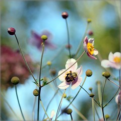 Sundays , I dream in colors (Maureen F.) Tags: life colors bokeh sunday bee anemone lateseasonjapaneseanemones whenyouhavestraighthairyouwantcurlyandviceversa companionshottooneipostedinoctober butilikedthebokehcolors beeisnotquiteasfocusedasiwouldlike