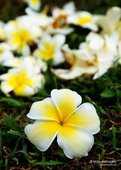 0119 PICT5105 (JRmanNn) Tags: flower plumeria ground bunch guam