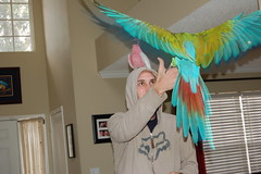 flying parrot (Dave Womach) Tags: house bird beautiful bondi rose dave spread flying hoodie sweater orlando wings wolf crash military flight parrot cash exotic inside fl cockatoo bandit macaw galah breasted swearter womach