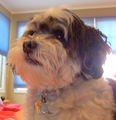 #37: baba on alert (sazzy) Tags: dogs baba babalu pictureaday havanese project365 project36537 365moments2009 atpjs myantidepressantmeds theevervigilantbaba