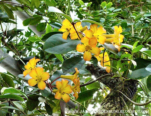 Yellow Vine