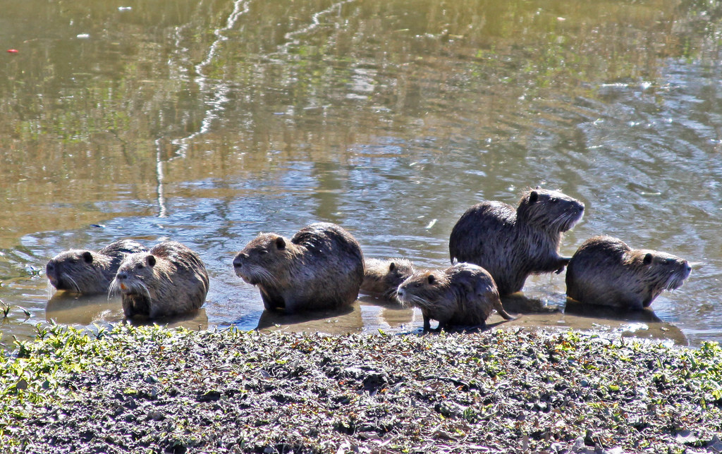 Nutria Rat Family