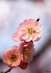 pink plum blossom (* Yumi *) Tags: pink flower plumblossom  overtheexcellence