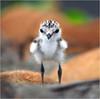 #424 東環童稚 (Sweeeet !) (John&Fish) Tags: wild bird nature wow bravo taiwan best birdwatcher blueribbonwinner specanimal mywinners specanimalphotooftheday impressedbeauty aplusphoto rubyphotographer 100commentgroup vosplusbellesphotos lesamisdupetitprince greatshotss