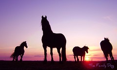 Friese paarden op Ameland (The Family Dog) Tags: sunset horses horse caballo cheval fries ameland paard paarden frisian friese frisians pferden friesische expressyourselfaward