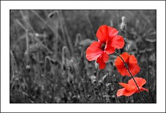 Flowers for the fallen in Afghanistan (Drew Scholes) Tags: red field three petals conversion stamen poppy colouring selective 15challengeswinner capturethefinest