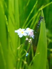 the blue (tmk_lovecat) Tags: blue nature dragonfly