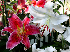 Red and White (donsutherland1) Tags: flowers red summer fab white ny newyork blossoms july lilies bloom larchmont diamondclassphotographer flickrdiamond