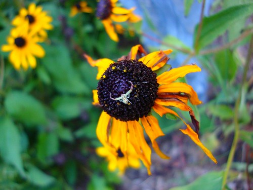 Crab Spider on Black-Eyed Susan