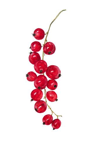 Redcurrants ~ Ribes rubrum (again)