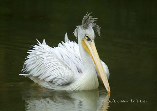 Pelican at Longleat