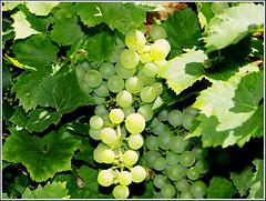 Wein_wbc_2440 (Aureusbay) Tags: garden backyard wine 2009 wein tamron2875 jahrgang2009