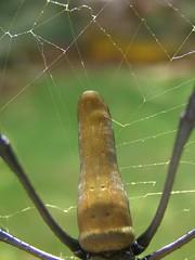 Giving us the finger (Sven Rudolf Jan) Tags: spider jan papuanewguinea hasselberg janhasselberg