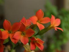 Kalanchoe blossfeldiana (nidzalina) Tags: kalanchoe kalanhoja