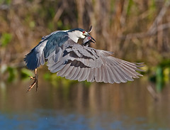 Black Crowned Night Heron in Flight with Walking Catfish (kevansunderland) Tags: heron bokeh everglades catfish birdsinflight evergladesnationalpark blackcrownednightheron wadingbird birdphotography floridabirds anhingatrail walkingcatfish