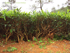 Tea Plantation, Wayanad (indiafundays) Tags: trip travel tour tea kerala plantation wayanad teaplantation wayanadtravel