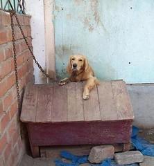 Mantenerlo amarrado es una de las acciones más crueles que puedes hacer con tu perro.