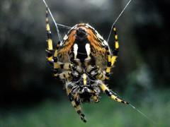 ¿Araña tigre? (pedro aragon) Tags: naturaleza nature animal spider araña pata arácnido prosoma pedipalpos opistosoma quelíceros