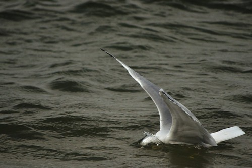 seagull 3 of 4