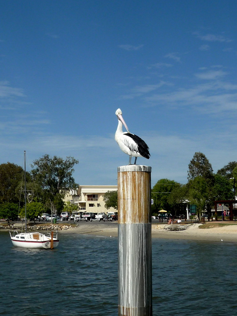 Pelican on Noosa River