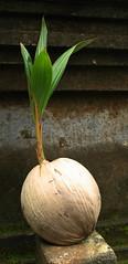 coconut (shashin62) Tags: bali coconut