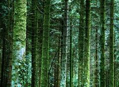 Foresta delle Ardenne (Leon) Tags: trees windows wallpaper tree verde green alberi dark mac ardennen linux albero muschio wald bouillon arden bosco belgio foresta gotico gotic sfondi delle ardenne tetro radura