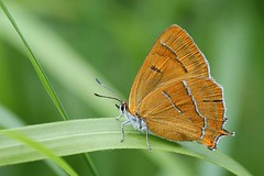 Thecla betulae - Sleedoornpage - Brown Hairstreak (henk.wallays) Tags: red brown butterfly belgium butterflies lepidoptera papillon inseto list page endangered mariposa mariposas rare farfalla vlinder hairstreak prunus 蝶 spinosa motyl thecla viroin sleedoorn specanimal lepidotteri blegie dagvlinder betulae sleedoornpage