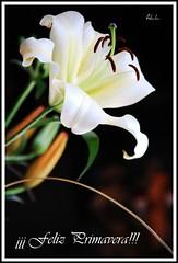 """""""Quinta-Flower"""" ¡¡Llegó la primavera!! (-Ana Lía-) Tags: naturaleza flores primavera argentina nikon concierto blanca vida música mardelplata perfumada lirium solidaritywithcancersolidaridadconelcáncer fotosconcorazonypasion aprehendiz"""