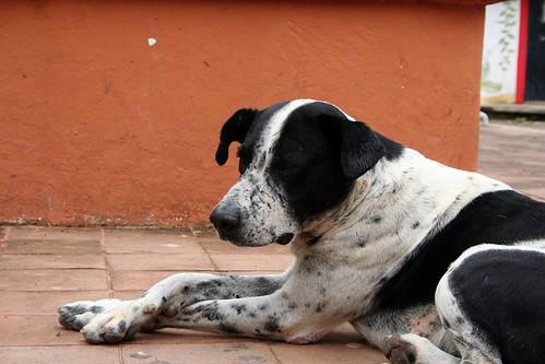 Copola - Dog