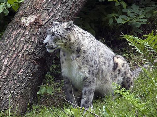 Schneeleopard Uncia uncia