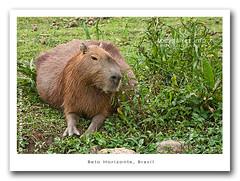capybara/capibara, Belo Horizonte
