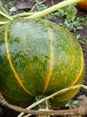 One of the squashes from our garden