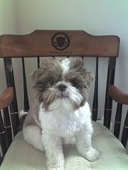 Chloe on USC ENT chair (gix2lee) Tags: dog shih tzu shihtzu usc cutedog chrysanthemum ent liondog brownandwhite brownandwhitedog liverandwhite shihtzudog brownandwhiteshihtzu chrysanthemumdog chloepatralee chloepatraleelapetitchocolat liverandwhiteshihtzu chloepatraleelapetitchocolatchloeshihtzutzuliverandwhiteshihtzuliverandwhite uscentchair liverandwhiteshihtzubrownandwhiteshihtzu liverandwhitedog