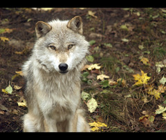 Wolf (robert_goulet) Tags: white ontario canada fall nature leaves forest fur highlands eyes wolf reserve olympus eastern zuiko haliburton evolt canis e500 zd fourthirds 45150mm mikecrough