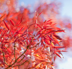~ Fire ~ (©Komatoes) Tags: blue red sky orange tree leaves 50mm nikon f14 g devon exeter twig afs d40 nikond40 50mmf14afsg