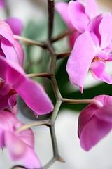 storczyk (ślimak) Tags: orchid flower phalaenopsis kwiat storczyk diamondclassphotographer flickrdiamond