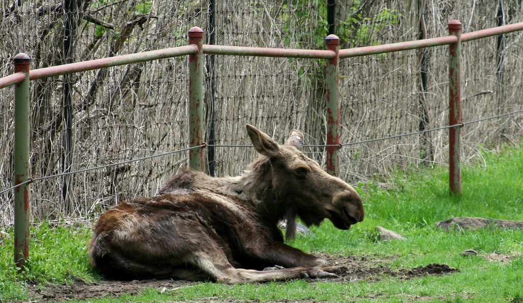 Moose at rest