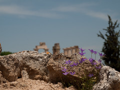 Purple Flowers and Temple of Nemea (David R. Crowe) Tags: building history temple europe places greece nemea greekhistory