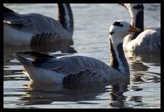 Bar Headed Goose (tomstory) Tags: bar goose headed
