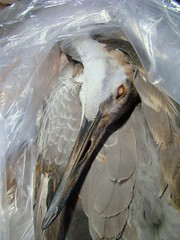 Juv sandhill crane in bag